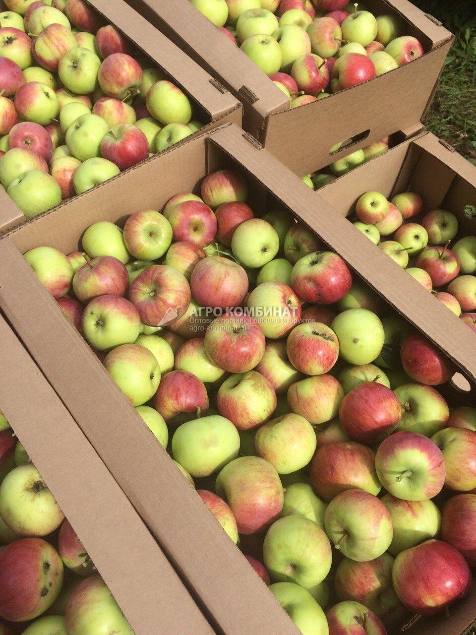Яблоки, урожай сентябрь 2016 (Новосибирск)